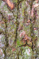 moss on bark on old trunk of pine tree close up