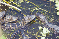 Baby alligators in a swamp