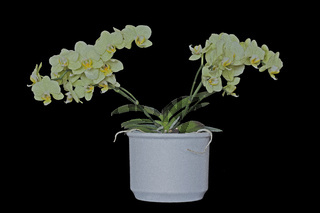 Orchidee (Orchidaceae)