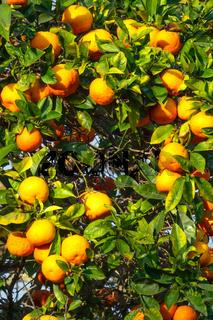 fresh ripe orange on plant