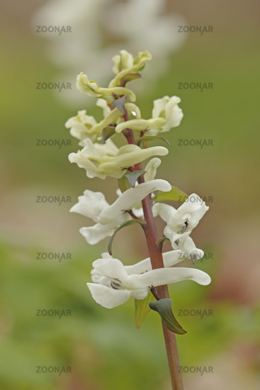 Hollowroot-birthwort (Corydalis cava)