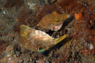 Mating pair of Fingerprint Tobys, Canthigaster compressa