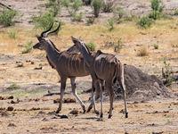 Greater Kudu in Khaudum National Park Namibia