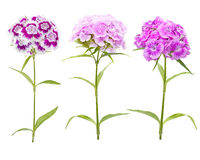 Pink and purple carnation flowers  on white background