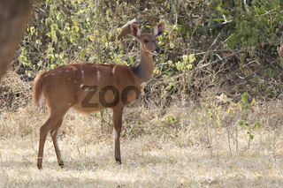 female Bushbuck antelope standing in a small glade among the bushes