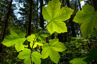 Leaves of the sycamore maple in backlight