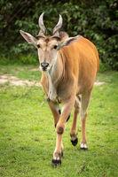 Common eland walks across grass towards camera