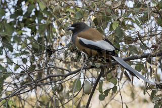 rufous treepie that sits in the tree crown on the forest edge on a winter day