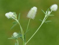 Hasen-Klee, Trifolium, arvense