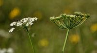 hogweed; eltrot; meadow parsnip; common hogweed;