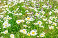Field of white daisies