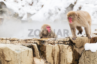 japanese macaques or snow monkeys in hot spring