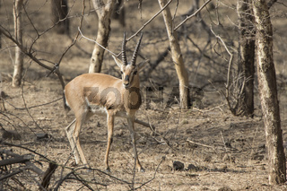 male Indian gazelle or chinkara standing among trees in the winter Indian forest