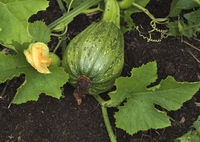 Squash growing on the vegetable bed in the garden.
