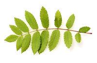 Eberesche, Vogelbeerbaum, Sorbus, aucuparia