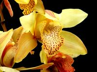 Pale Yellow Cymbidium Orchid