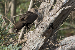 Hamerkop who sits on a branch of a dry tree on the shore of Lake Victoria