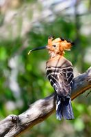 Madagascan hoopoe Madagascar wildlife bird