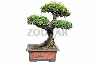 bonsai tree of olea europaea
