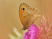 meadow  brown on a common thistle