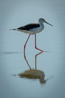 Black-winged stilt steps through shallows in sunshine