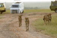 Cheetahs, coalition brothers, Acinonyx jubatus, Masai mara, Kenya, Africa