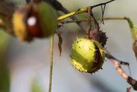 Horse-chestnut, Aesculus hippocastanum