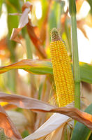 Backlit Ripe Corn of Maize on stalks at the field ready for harvest