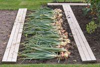Freshly dug onion bulbs on the ground