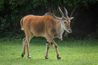 Common eland walks across grass past trees