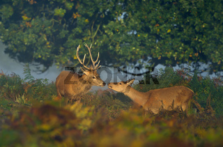Red deer stag with a hind on a sunny misty morning