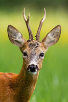 Head of roe deer buck in summer nature.