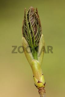 Ahorn (Acer)