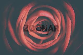 Detail red rose