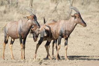 Three topi antelope that stand in the dry African savanna