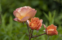 Pink (Rosa sp.)