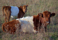 Dutch belted cows in a not cultivated environment