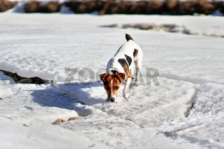 Small Jack Russell terrier walking on melting snow covered river, sniffing the ground on a sunny spring day