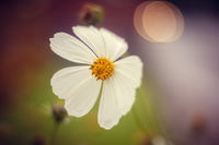 White beautiful summer flowers. White flower petals. Natural flowers