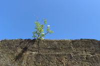 Minden - Elder tree on old fortress wall, Germany