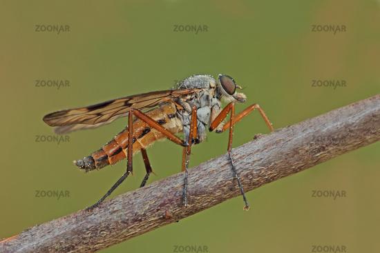 Snipe fly (Rhagio scolopaceus)