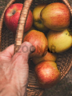 Freshly harvested apples in a basket