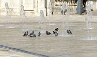 pigeons bathing between water fountains