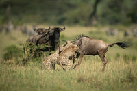 Blue wildebeest watch two cheetah attacking another