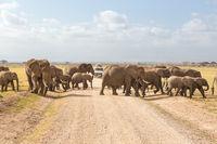 Herd of big wild elephants crossing dirt roadi in Amboseli national park, Kenya.