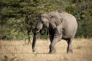 African elephant lifts foot walking across grass