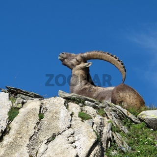 Lying alpine ibex scratching his back with his horns.