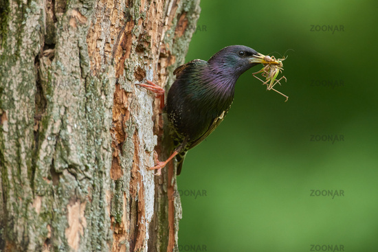 Common starling from Hungary