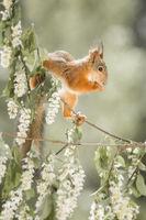 red squirrel on an flower branch