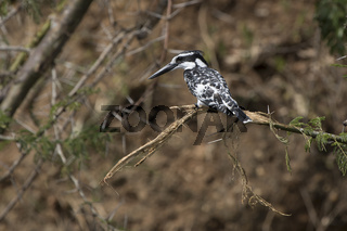 Pied Kingfisher who sits on a broken branch that hangs over the river